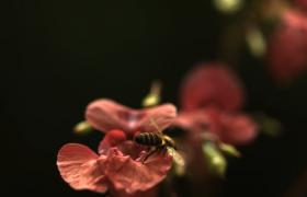 实拍勤劳小蜜蜂在花丛里采蜜高清视频参考