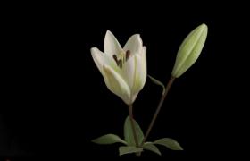 鲜艳花朵绽放瞬间高清实拍素材