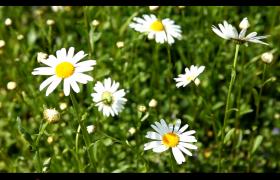 白色小野花随风飘扬高清实拍素材