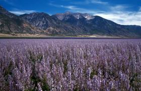 高清拍摄高山旁公路边的薰衣草随风飘摇美景视频