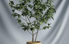 園林護理室內綠葉盆栽植物c4d模型(含材質圖片)