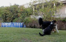 两只小狗草坪上嬉戏打斗实拍MP4视频素材