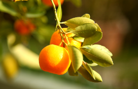 高清特写阳光照耀下桔子果实肥硕视频素材参考