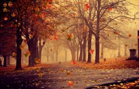 秋季火红枫叶纷纷飘落思念回忆伤感LED大屏幕视频素材