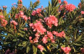 春日夕陽下微風浮動地中海紅色花朵唯美自然風景高清實拍