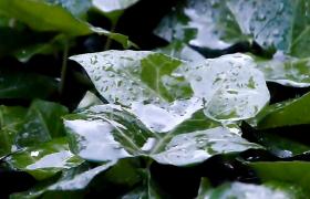 雨天中绿色树叶上雨水淅沥高清实拍视频素材