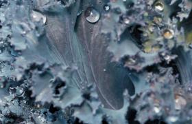 紫色萵苣葉子雨滴飛濺高清特寫視頻素材