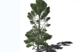 秦嶺以北地區三針一葉的三葉松裸子植物門常綠樹C4D模型