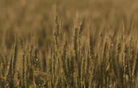 金色秋日丰收季麦浪麦穗高清实拍视频素材