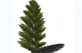 嫩綠色枝葉關節設計高加索冷杉C4D植物百科介紹模型展示