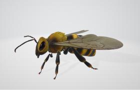 高精度真实动物昆虫蜜蜂3D模型(含肢体活动绑定动画)