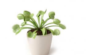 草本食虫植物Venus Flytrap捕蝇草绿色盆栽植物C4D模型