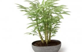 室内净化空气家居造景摆件文竹盆栽C4D模型(含贴图)
