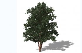 瀕臨滅絕的天然珍稀抗癌植物紅豆杉綠色喬木C4D模型
