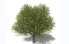 法國蒙彼利埃楓樹常綠落葉喬木旅游景觀樹C4D模型