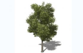 木質堅硬的絕佳材質樹木歐洲白蠟Fraxinus chinensis落葉喬木C4D模型