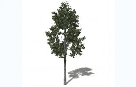 歐洲黑松嫁接變種奧地利松圣誕樹原型植物C4D國外樹種模型