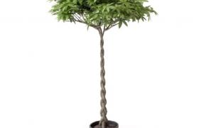 招财进宝发财树根部盘旋环绕的精致盆栽绿植C4D模型