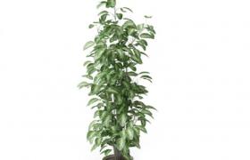 大葉綠蘿柱居家盆栽藝術擺件Cinema4d綠植模型展示