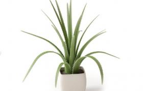 边缘含硬刺的木立芦荟清新绿植盆景植物C4D模型