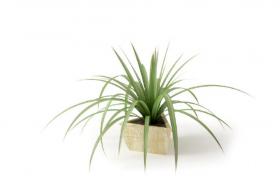 青涩的现代室内观叶植物盆景吊兰绿植C4D模型(含材质贴图)