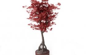紅色楓葉盆栽植物觀賞性極佳的室內裝飾盆景c4d模型