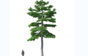 中國特有植物樹種陜西西南部云杉樹C4D模型(含材質貼圖)