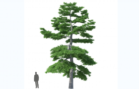 古老植物樹種粗枝云杉戶外植物Cinema4d模型(含貼圖)