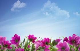 藍天白云紫色鮮花花叢搖曳唯美演繹高清晚會背景視頻素材