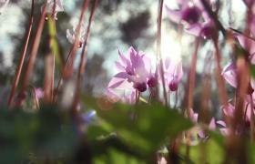 粉紫色花束風中唯美搖曳高清實拍視頻素材