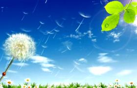 蓝天下蒲公英毛球不断飞散唯美清新特效视频素材