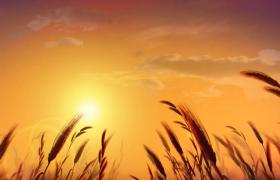 黄昏下麦穗随风摇曳美景特效视频素材