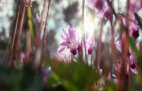 实拍阳光下粉嫩花朵唯美娇艳摇曳HD视频素材