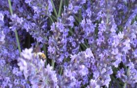 近景捕捉蜜蜂薰衣草花叢飛舞高清實拍視頻素材