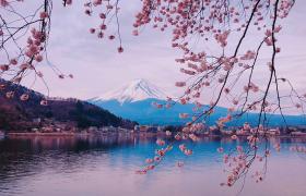 春天粉嫩櫻花下富士山唯美景點實拍視頻素材