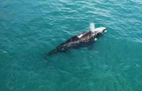 南露脊鲸游出水面换气喷水海洋生物实拍视频素材
