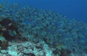 热带鱼旗鱼在珊瑚礁上自由游动海生物实拍视频素材