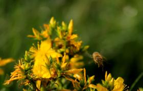 勤劳小蜜蜂扑腾着翅膀采花蜜清晰特写15s视频素材
