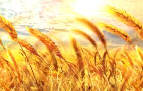 美丽天空粒子漂浮麦田麦浪动画特效芒种节气背景视频