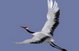 文言文古诗意境的李太白丹顶鹤3D濒危鸟类动物模型