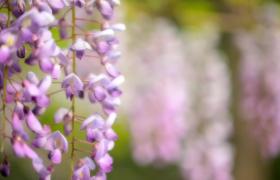 浪漫樱花自然风景高清实拍旅游片头视频素材