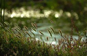 植物素材-唯美黄昏实拍下芦苇荡植物背景视频素材