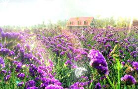 植物素材-淡雅薰衣草家园蝴蝶飞舞的浪漫背景视频