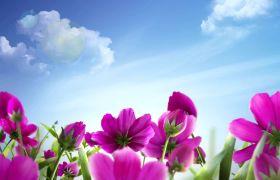 植物素材-典雅清新红色花朵蓝天植物开场视频背景素材