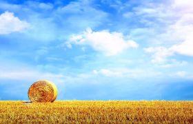 自然风光素材-浪漫蓝天白云下金色麦穗大丰收视频背景素材
