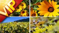 春天植物快速生长 花开放花渐开渐变生长过程 向日葵花开高清实拍