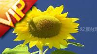 13个高清竹林和向日葵鲜花特写镜头高清实拍视频素材