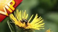 蜜蜂采蜜 特���R�^高清��拍��l素材