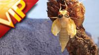夏季蝉孵化特写镜头 蝉 蝉蛹 树枝 海绵 毛毯 树叶 植物 小狗等