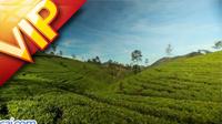 斯里兰卡茶业茶庄宣传片 茶叶茶园 泡茶品茶 茶粉制作等实拍
